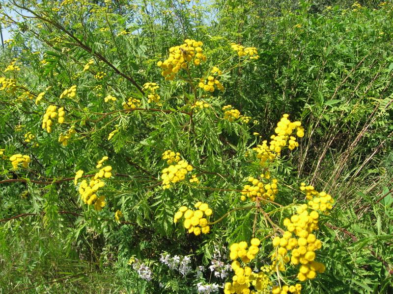 На Закарпатті збирають пижмо: квіти захищають оселю від шашелю