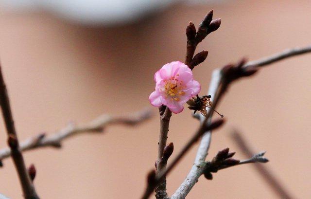 Через аномально теплу зиму на Закарпатті зацвіли підсніжники і троянди