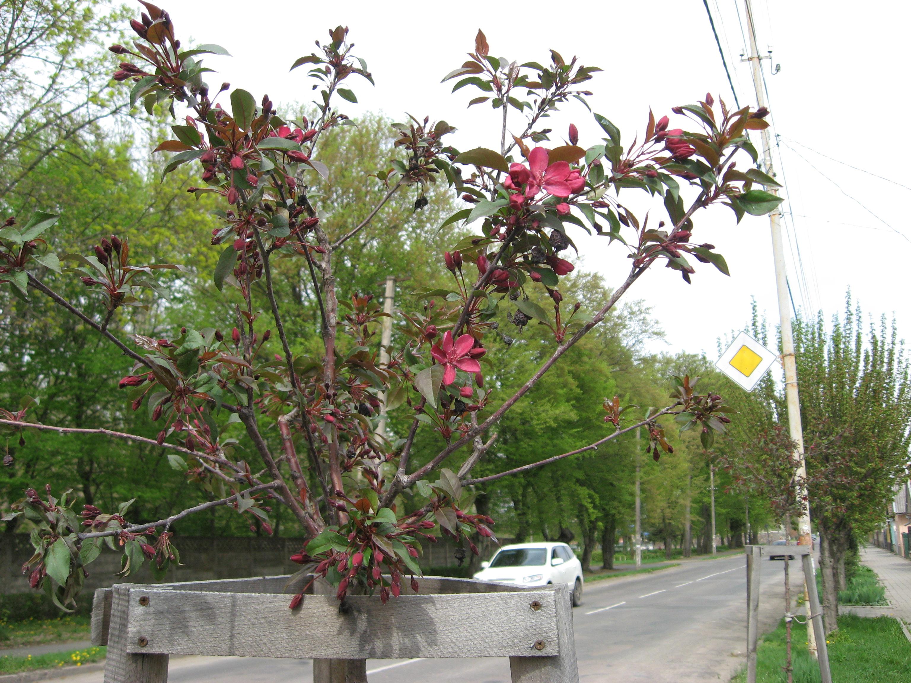 Мукачево сакурове: пік цвітіння настане за декілька днів