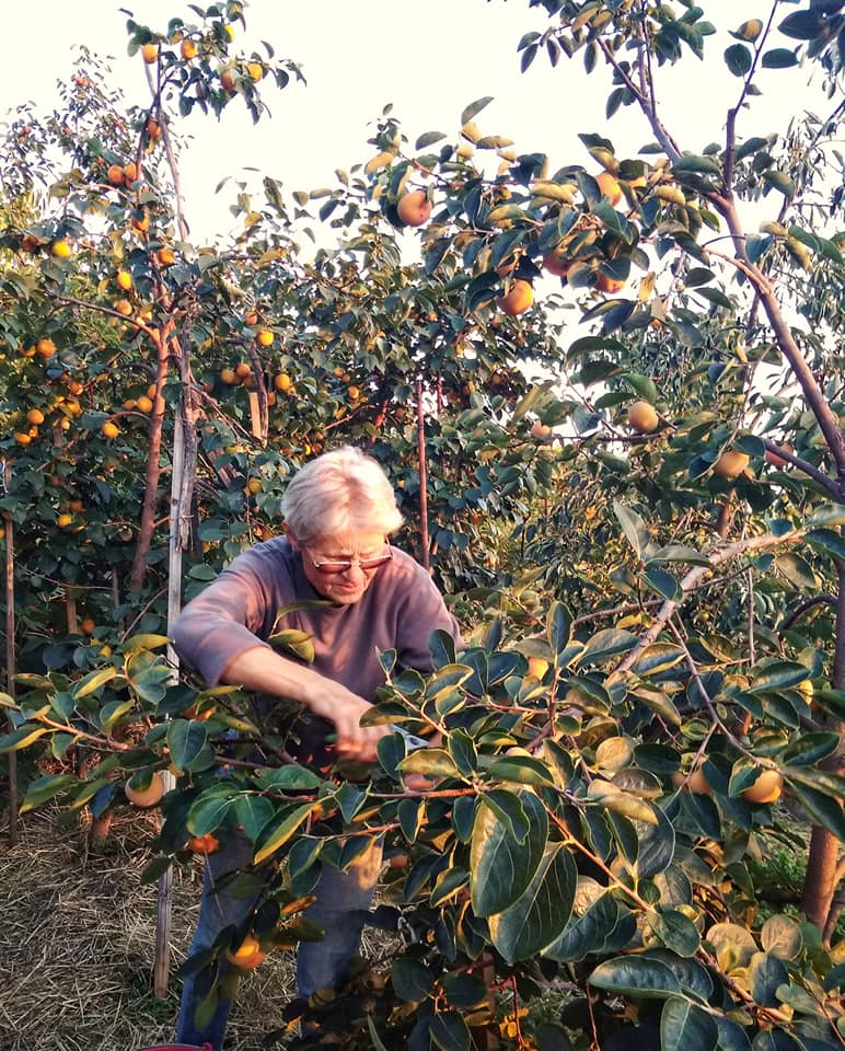 У Виноградові збирають урожай екзотичних фруктів