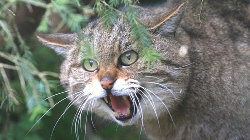 Закарпатців запрошують на «зустріч» з лісовим котом