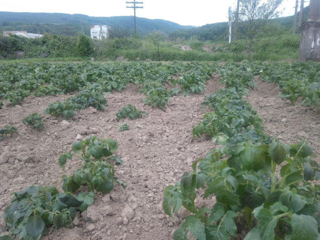 На Закарпатті через заморозки постраждала городина (ФОТО), фото-1