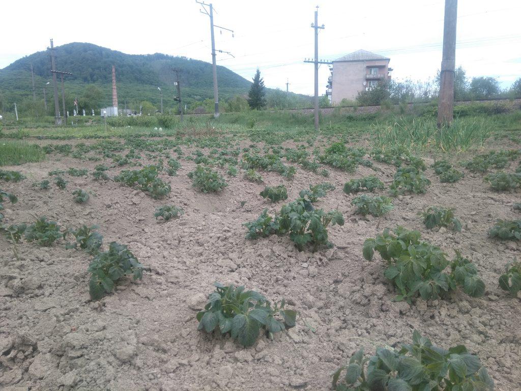 На Закарпатті через заморозки постраждала городина (ФОТО), фото-2